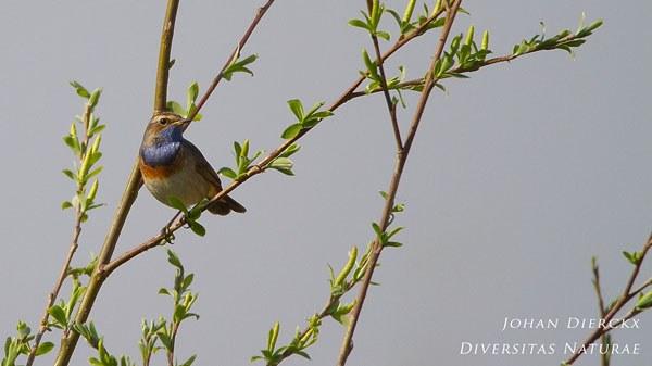 Luscinia svecica - Blauwborst
