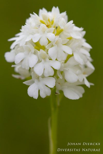 Anacamptis pyramidalis (albiflora)