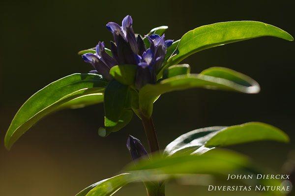 Gentiana cruciata - Kruisbladgentiaan