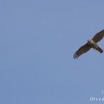 Accipiter nisus - Sperwer