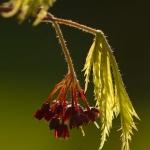 Familia Sapindaceae - Zeepboomfamilie