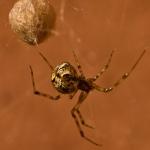 Familia Theridiidae - Kogelspinnen