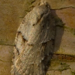 Acleris logiana - Witte boogbladroller