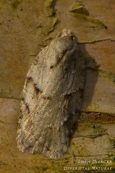 Acleris logiana - Witte boogbladroller