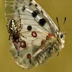 Aculepeira ceropegia - Eikenbladspin