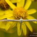 Adaina microdactyla - Dwergvedermot