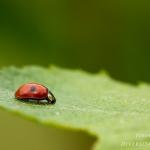Adalia bipunctata - Tweestippelig Lieveheersbeestje
