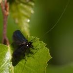 Familia Adelidae - Langsprietmotten