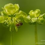 Adoxa moschatellina - Muskuskruid