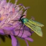 Adscita geryon - Kleine metaalvlinder