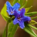Aegonychon purpurocaeruleum - Blauw parelzaad