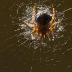 Agalenatea redii - Brede Wielwebspin