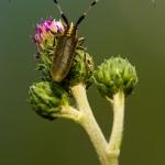 Agapanthia villosoviridescens - Distelboktor