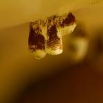 Agathomyia wankowiczii - Tonderzwambreedvoet