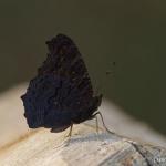 Aglais io - Dagpauwoog