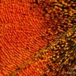 Aglais urticae - Kleine vos