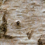 Agriopis leucophaearia - Kleine voorjaarsspanner (M)