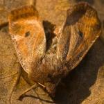 Agrochola circellaris - Bruine herfstuil
