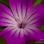 Familia Caryophyllaceae - Anjerfamilie