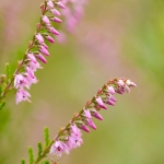 Amblyptilia acanthadactyla - Scherphoekvedermot