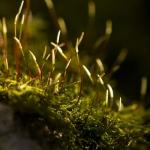 Amblystegium serpens - Gewoon pluisdraadmos