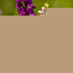 Anacamptis morio - Harlekijn & Dactylorhiza romana