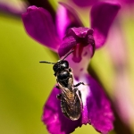 Anacamptis palustris - Moerasorchis