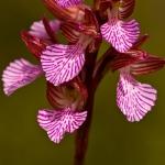 Anacamptis papilionacea subsp. expansa - Grootbloemige vlinderorchis