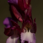 Anacamptis papilionacea - Vlinderorchis