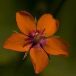 Anagallis arvensis - Rood guichelheil