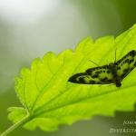Anania hortulata - Bonte brandnetelmot