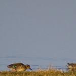 Anas crecca - Wintertaling