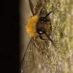 Andrena clarkella - Zwart-rosse zandbij
