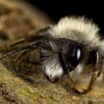 Andrena vaga - Grijze zandbij