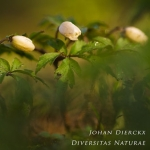 Anemone nemorosa - Bosanemoon