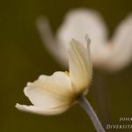 Anemone sylvestris - Grote anemoon