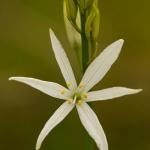 Anthericum liliago - Grote graslelie