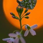 Anthocharis cardamines - Oranjetipje