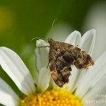 Anthophila fabriciana - Brandnetelmot