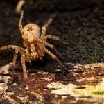 Familia Anyphaenidae - Buisspinnen