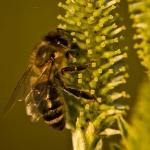 Familia Apidae - Bijen en Hommels