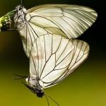 Aporia crataegi - Groot geaderd witje