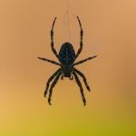 Araneus diadematus - Kruisspin
