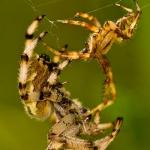 Araneus quadratus - Viervlekwielwebspin