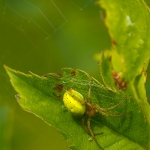 Araniella cucurbitina - Gewone Komkommerspin