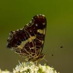Araschnia levana - Landkaartje