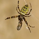 Classis Arachnida - Spinachtigen