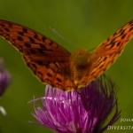 Argynnis adippe - Bosrandparelmoervlinder