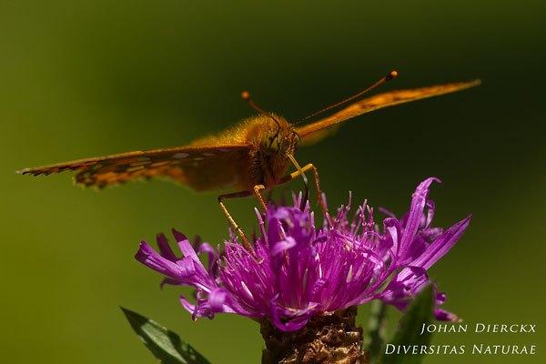 Argynnis aglaja - Grote parelmoervlinder