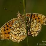 Argynnis niobe - Duinparelmoervlinder